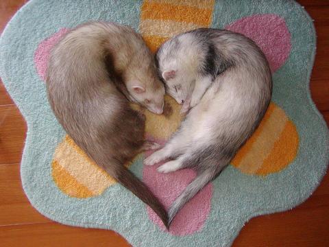 ferret heart Ferrets Cute As Hell Animals