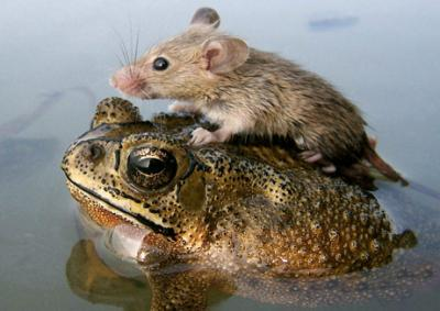 060705 mouse frog big.thumbnail The Frog and the Mouse Cute As Hell Animals