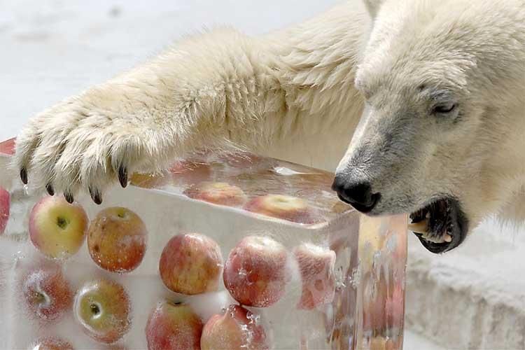 polar-bear-apple-ice-cubes.jpg