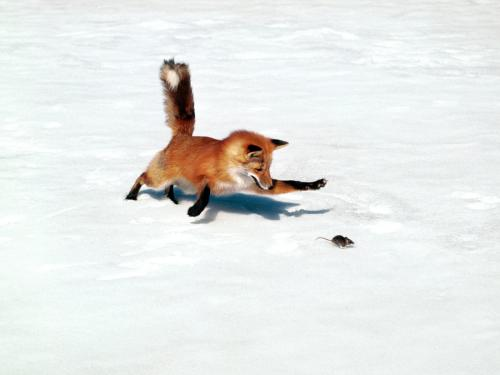 chasing-a-snack-red-fox.jpg