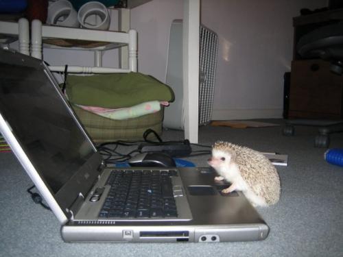 hedgehog-lappy.jpg