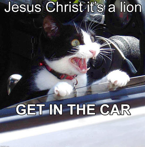 lion getincar Jesus Christ its a lion, get in the car Humor Forum Fodder Cute As Hell Animals