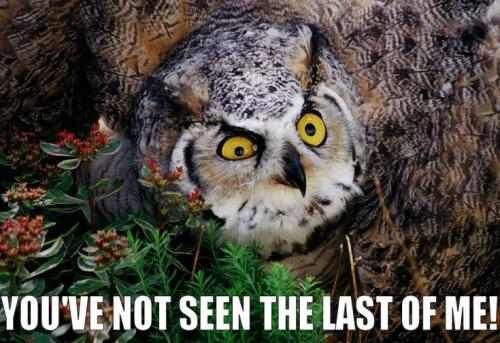 owl youve seen last.thumbnail Youve Not Seen The Last Of Me! wtf Nature Humor Forum Fodder