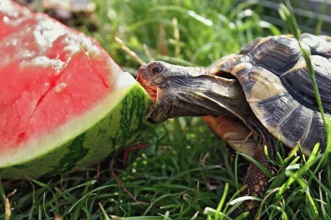 Do Turtles Eat Watermellon? - MyConfinedSpace