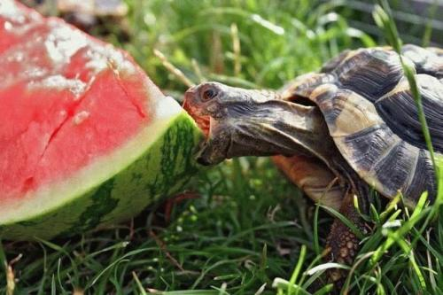 turtle-eats-watermellon.jpg