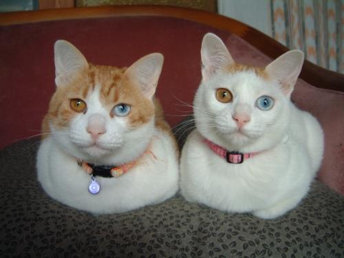 desu-cats.jpg