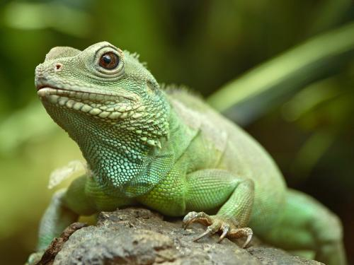 lizard-wallpaper.jpg