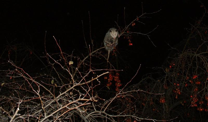 Tree Opussum