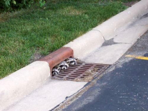 racoon-in-sewer.jpg