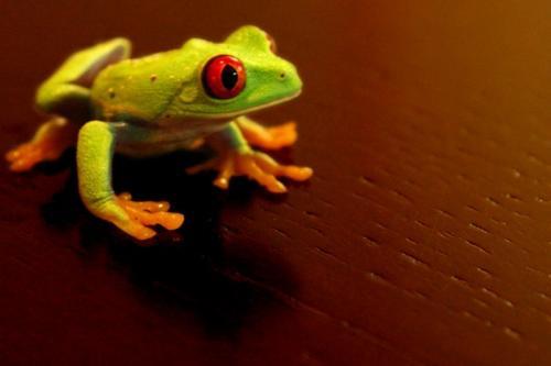 red-eyed-frog.jpg