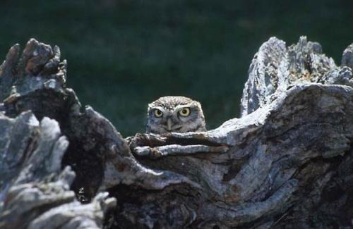 camo-owl.jpg
