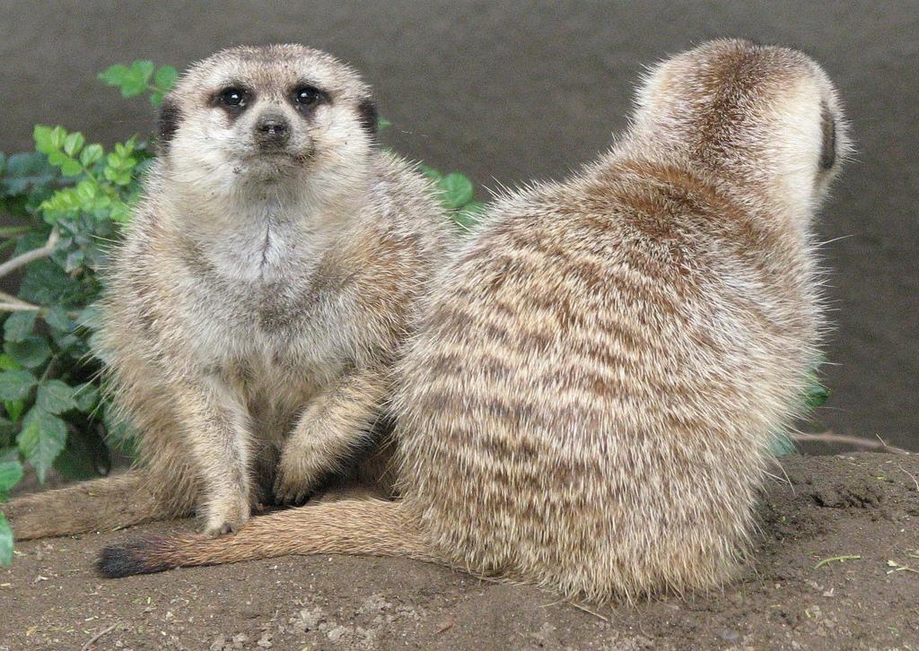 Meerkat Security