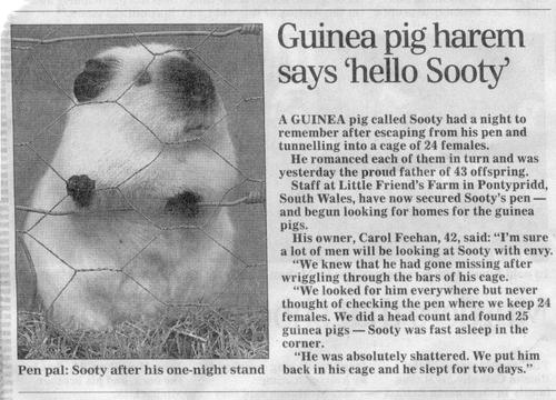 Sooty – Pimp Daddy Guinea Pig