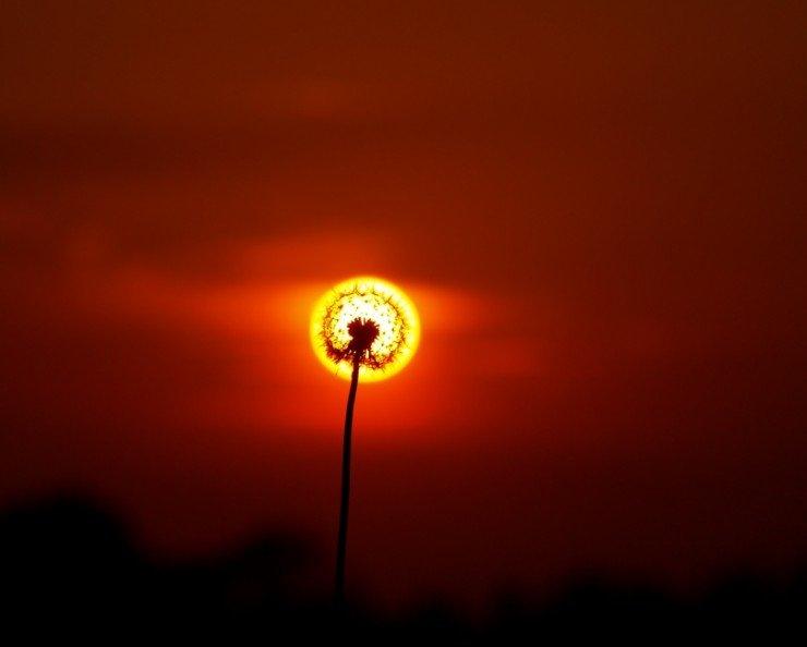 sunny-dandylion.jpg
