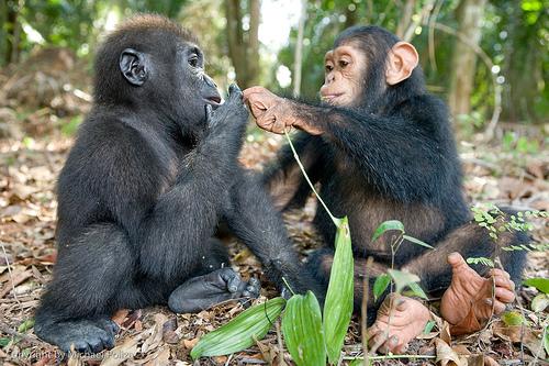 gorillachimp.jpg