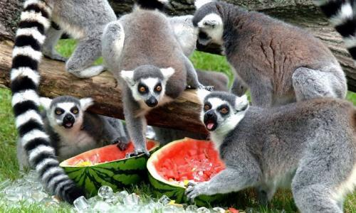 Lemurs Love Watermelons
