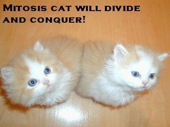 mitosiscat1.jpg