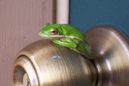 door-knob-frog.jpg