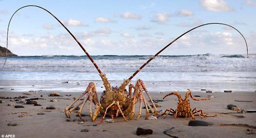 lobster_003.jpg