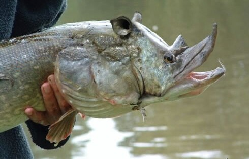 17oct9 wtf is this Crazy fish with Shrek ears...  wtf Nature