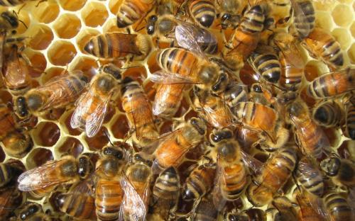 bees-wallpaper.jpg