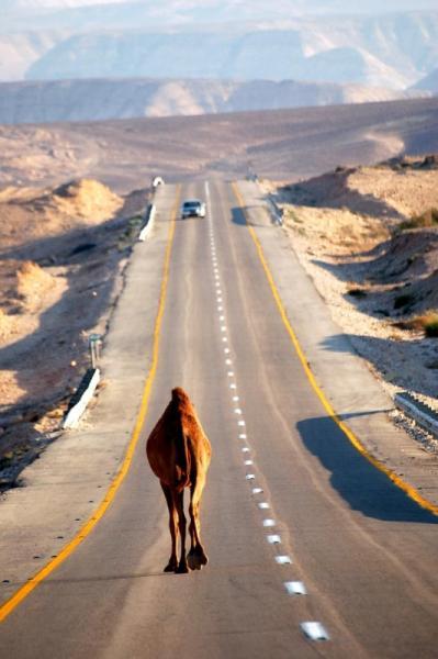 I got my money on the camel