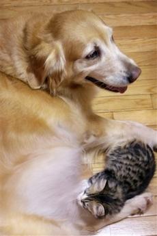 Golden Retriever Nurses Kitten