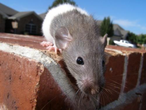 rat-nose.jpg