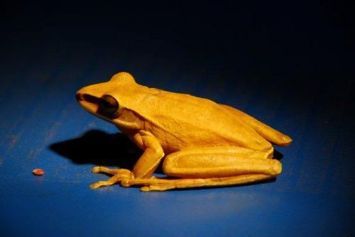 golden-frog