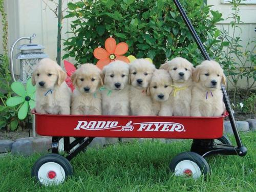 cute-puppies-in-wagon