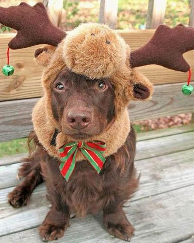 reindeer doggy.thumbnail Reindeer Doggy  X Mas Cute As Hell Animals