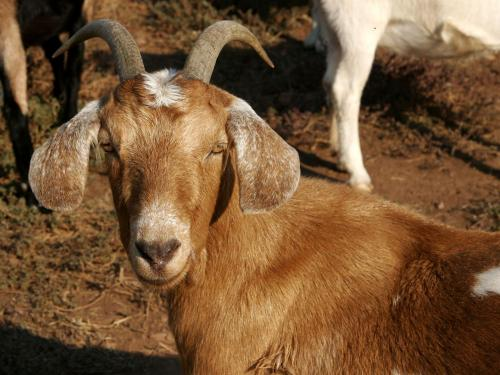 300px-brown_female_goat.jpg