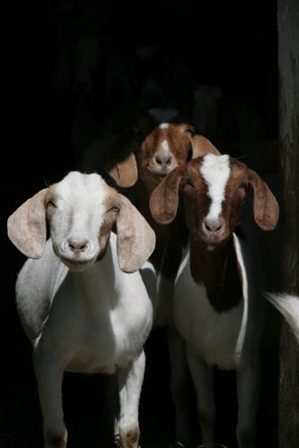 boer-goats.JPG