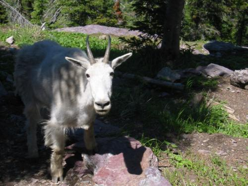 goat-at-sperry-chalet-d.JPG