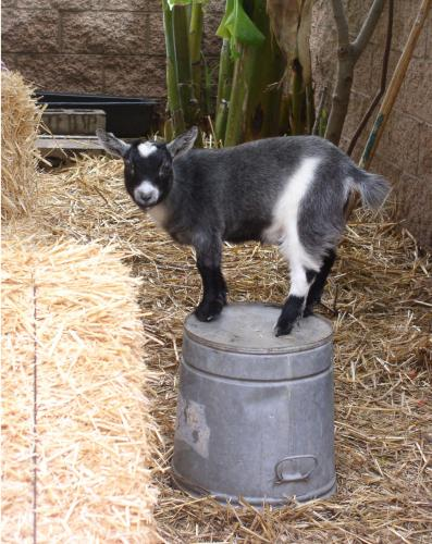 goat blackberry.thumbnail Goat On A Bucket Humor Cute As Hell Animals