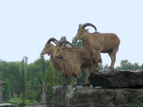 goat_2.jpg