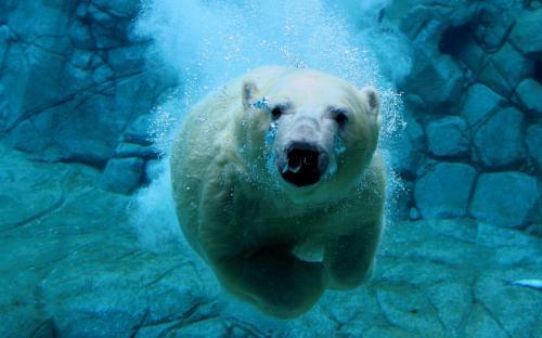 polar-bear-swimer.jpg