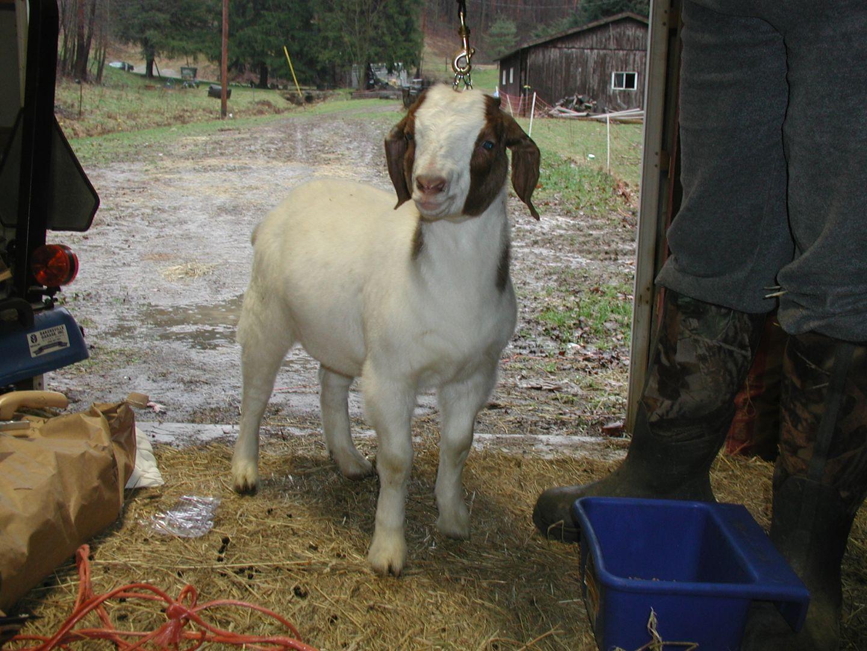 twiga-boer-goat.jpg