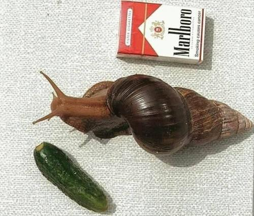 74937633.thumbnail Huge Snail wtf Nature
