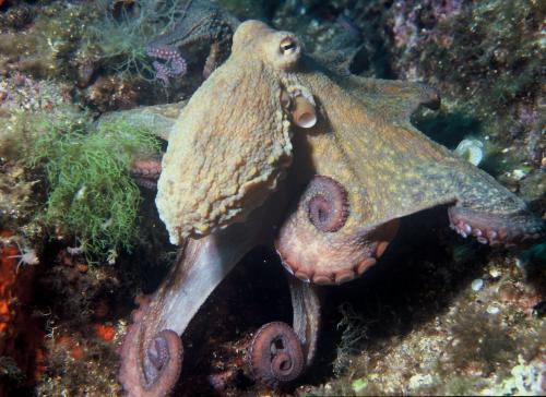 octopus_vulgaris_2.jpg
