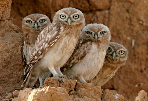 75503507.thumbnail Owl Family Nature Forum Fodder Cute As Hell Animals