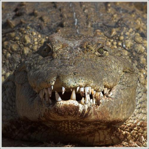 alligator-smile.jpg