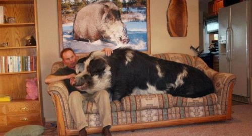 big-pig.jpg