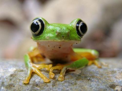 bug-eye-frog.jpg