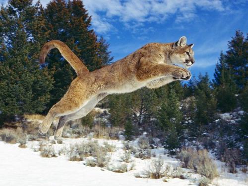 cougar-jump.jpg