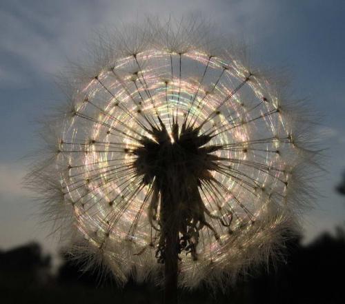 dandeliion-flower.jpg