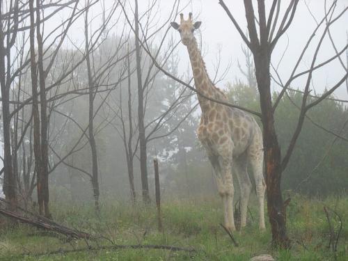 giraffe-woods.jpg