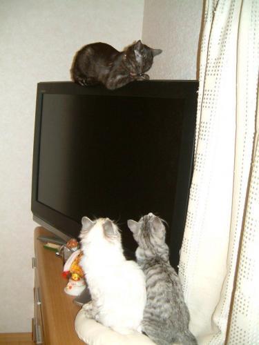 lcd-tv-cat.jpg