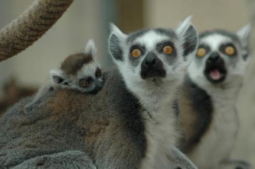 lemur-gaze.jpg