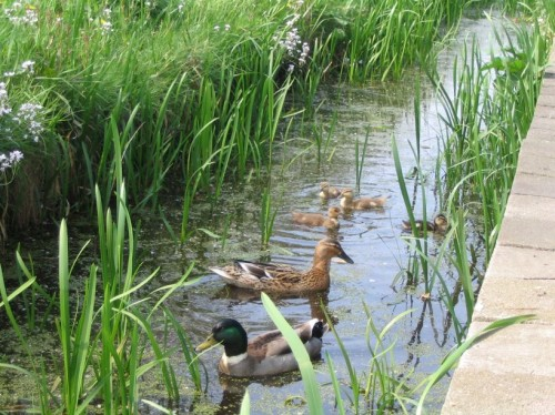eendjes1 500x374 Ducks Nature Cute As Hell Animals